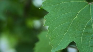 Green Grape Leaves, — Stock Video