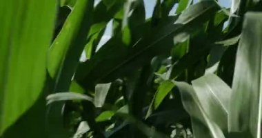 Moving Trough Cornfield — Stock Video