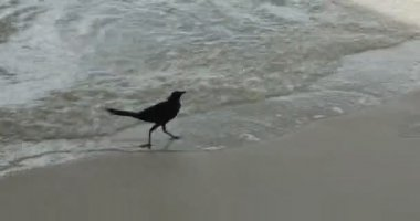 Crow at the beach — Stock Video