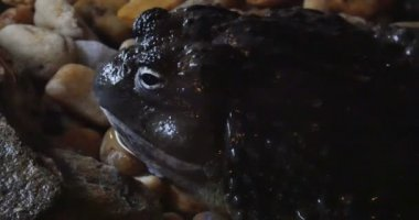 View African Bullfrog — Stock Video
