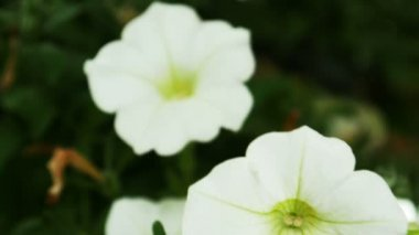 White pansy flowers — Stock Video
