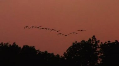 Ducks Flying at Sunset — Stock Video