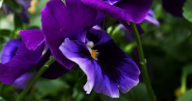 Roxos pansy flores — Vídeo stock