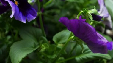 Purple pansy flowers — Stock Video