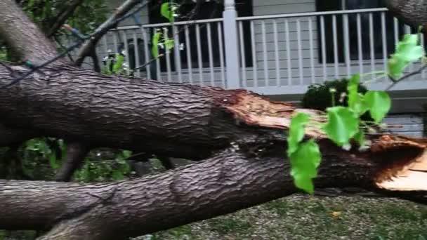 Big fallen tree — Vidéo
