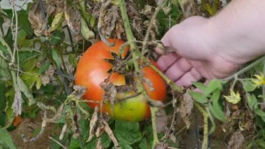Giant Tomato Being Picked — Stock Video