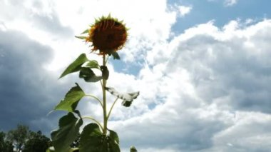 Sunflower blowing in the wind — Stock Video