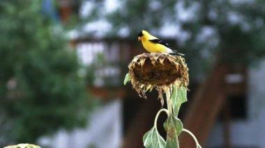 Goldfinch Bird on Sunflower — Stock Video
