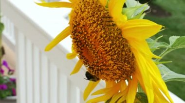 Sunflower with bumble bee — Stock Video