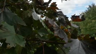 Leaves Blowing in Wind — Vídeo de Stock