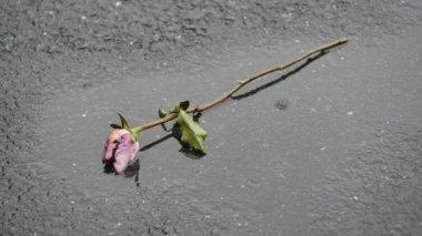 Rose on the asphalt — Stock Video