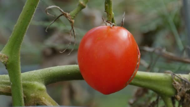 Tomato Last of the Harvest — Vidéo
