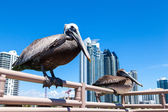Miami Pelicans — Stock Photo