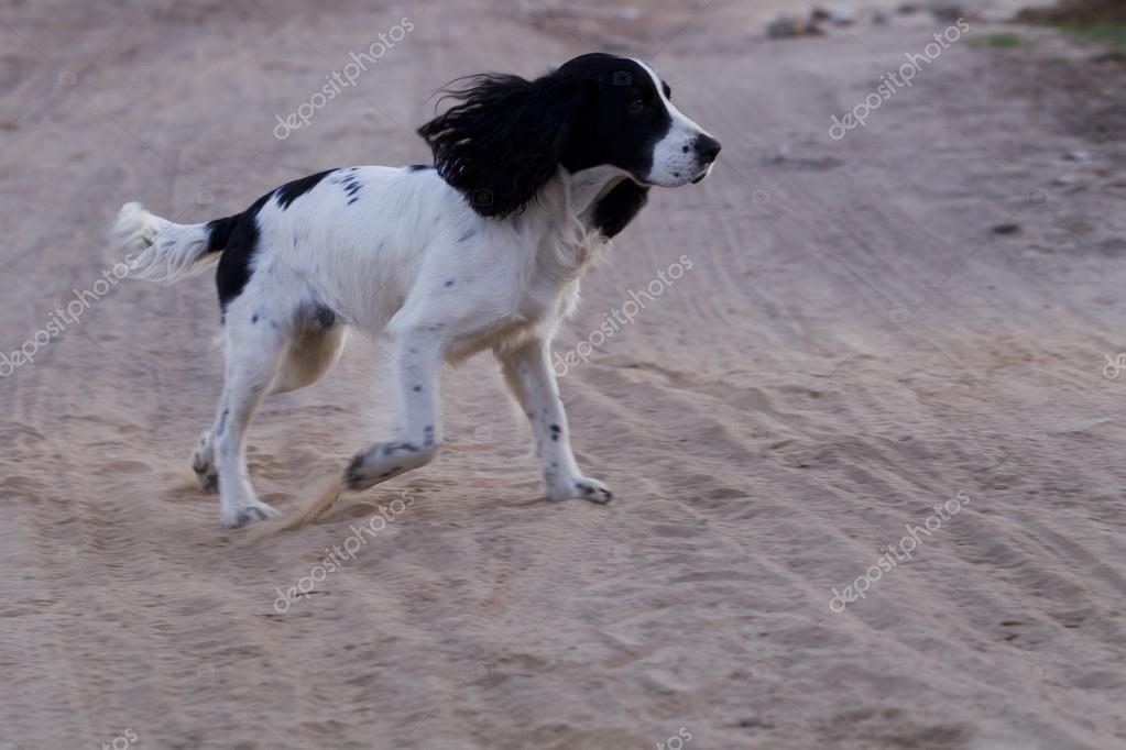 собак породы русский спаниель