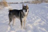 Pies w zimie — Zdjęcie stockowe