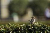 Sparrow sitting on a bush. — Stock Photo