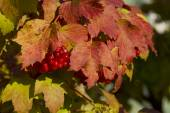 Viburnum bush autumn — Stock Photo