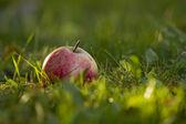 Elma çim — Stok fotoğraf