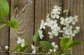 Cherry blossoms against a background of a wooden fence. — Foto Stock