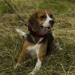 Beagle dog sitting on a leash. — Stock Photo #78055760