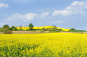 Yellow rape field  — Stock Photo