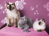 A group of purebred cats on a pink background  — Stock Photo