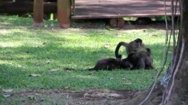 Apen in de jungle — Stockvideo
