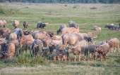 Herd of buffaloes on the field — Stock Photo