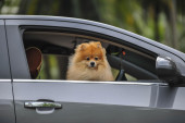Dog poking out of a car — Stock Photo