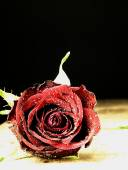 Red rose on the table and dew drops. — Стоковое фото
