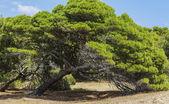 松树 — 图库照片