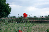 Rural landscape and red poppy — Stock Photo