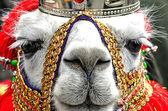 Lama glama — Zdjęcie stockowe