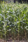 Corn flower — Stock Photo