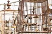 Red-whiskered bulbul birdcage sound competitions in thailand — Stock Photo