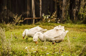 Snow-white bird — Stock Photo