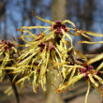 Early spring flowering branch hamamelis mollis — Stock Photo #67910355