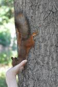 Squirrel eats nuts from the hand — Stockfoto