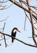 Kingfisher at the birch — Stock Photo