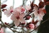 Prunus Pissardii — Stock Photo