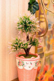 Pot on the table with pine trees in interior of apartment — Stock Photo