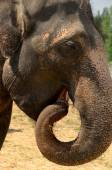 Éléphant d'Asie, Lat. Elephas Maximus. est le tronc courbé — Photo