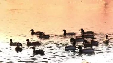 Ducks swim in the sunset — Wideo stockowe