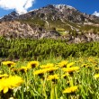 Alpine meadows with yellow flowers — Stock Photo #57869503