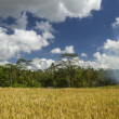 View on rice fields in Bali — Stock Photo #54505763