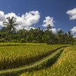 View on rice fields in Bali — Stock Photo #54505773