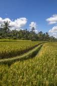 View on rice fields in Bali — Stock Photo