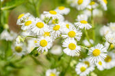 Daisy in summer meadow — Stock Photo