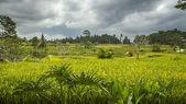 View on rice fields in Bali — Foto Stock