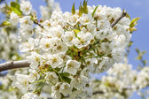 Cherry tree blossom in may — Foto Stock